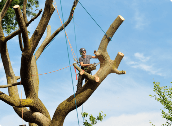 a Wright Tree Services employee spar pole rigging