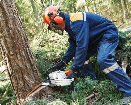 a Wright Tree Service employee sawing a tree down in a forest in Ottawa
