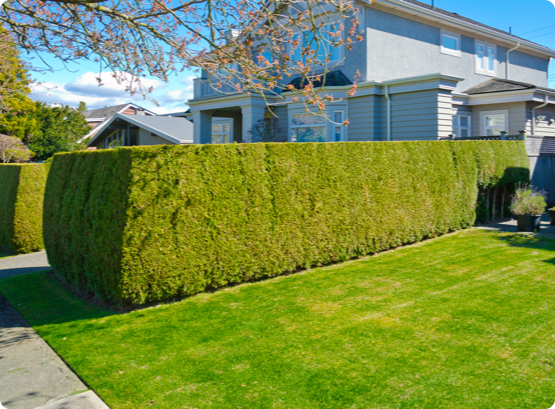 freshly trimmed even hedges in the front yard of an Ottawa home