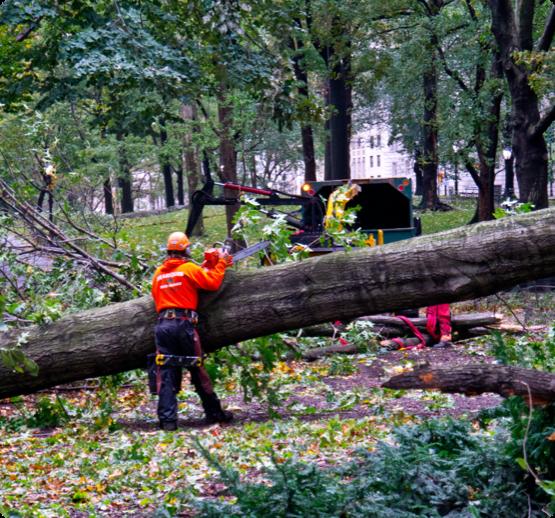Wright Tree Service arborists remove a tree in downtown Ottawa