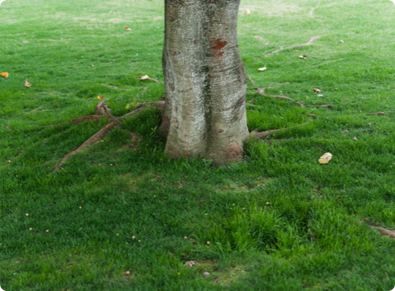 A healthy old tree in Ottawa