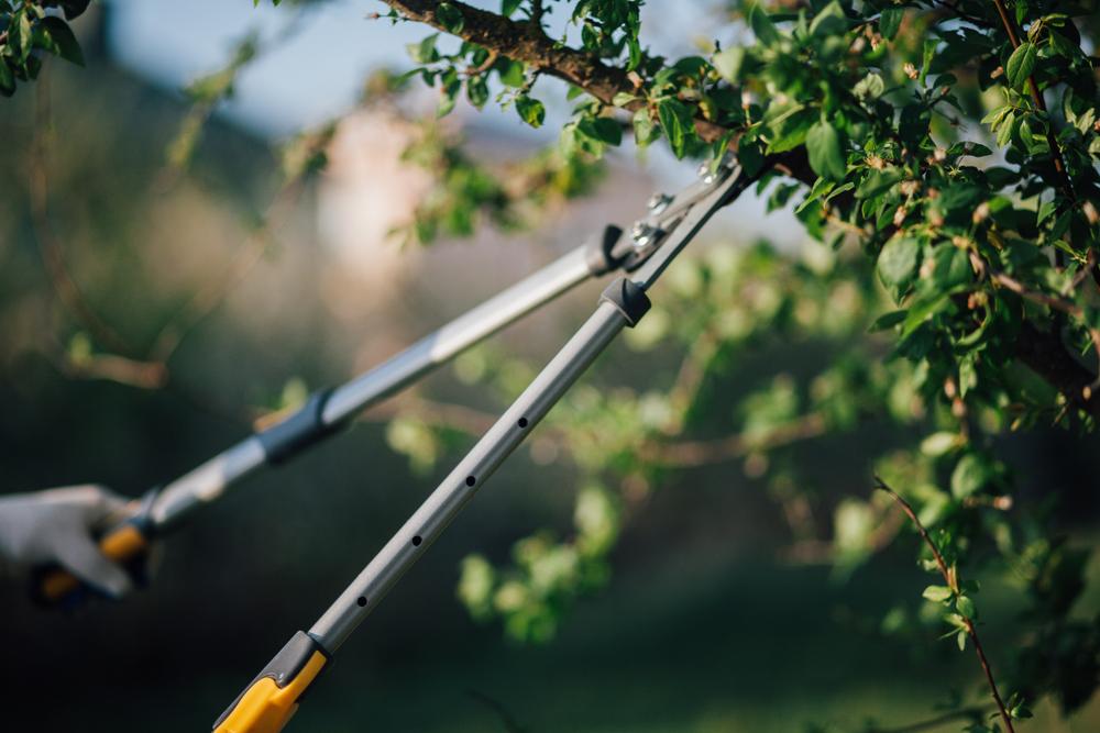 A Wright Tree arborist trims an Ottawa tree