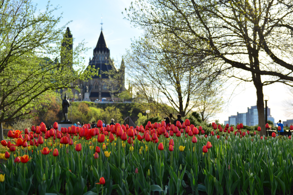 tulips near parliament hill in the springtime in ottawa canada